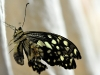 Crippled Checkered Swallowtail (<em>Papilio demoleus</em>)