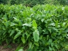 Arrowroot Cultivation
