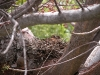 Zenaida Doves in Nest