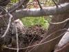 Zenaida Doves in Nest