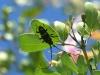 Longhorn Beetle (<em>Trachyderes succinctus</em>)