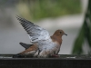 Zenaida Dove Washing Itself in Rainstorm
