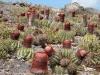 Pope's Head Cacti