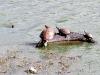 Turtles in Fresh Pond (Red-eared Sliders?)
