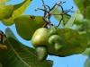 Young Cashew Fruit