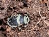 Fungus on Dead Beetle