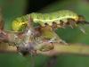 Cloudless Sulfur Caterpillar