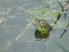 Common Iguana Swimming