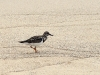 Ruddy Turnstone (<em>Arenaria interpres</em>)