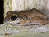 Lesser Antillean Whistling Frog (<em>Eleutherodactylus johnstonei</em>)
