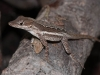 Female Anole (<em>Anolis gingivinus</em>) Threatening Intruder