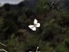 Silver Argiope (<em>Argiope argentata</em>)