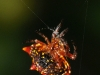 Spiny-backed Orbweaver (<em>Gasteracantha cancriformis</em>)