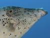 Scrawled Filefish (<em>Aluterus scriptus</em>)