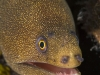 Goldentail Moray (<em>Gymnothorax milaris</em>)