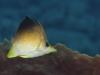 Longsnout Butterflyfish (<em>Chaetodon aculeatus</em>)