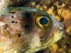 Balloonfish (<em>Diodon holocanthus</em>)