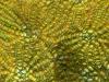 Knobby Cactus Coral <em>Mycetophyllia aliciae</em>)