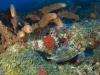 Cowfish at Third Encounter Pinnacle on Saba