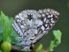 Tropical Checkered Skipper (<em>Pyrgus oileus</em>)