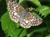 tropical-checkered-skipper