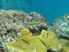 Elkhorn Coral (<em>Acropora palmata</em>) with Wrasses