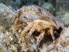 Spanish Lobster (<em>Scyllarides aequinoctialis</em>)