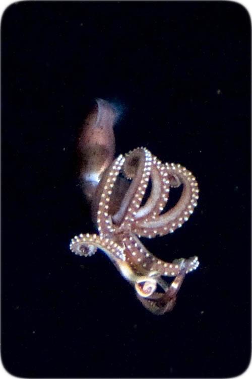 Jewel Squid