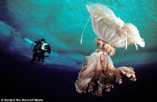 antarctic-jellyfish