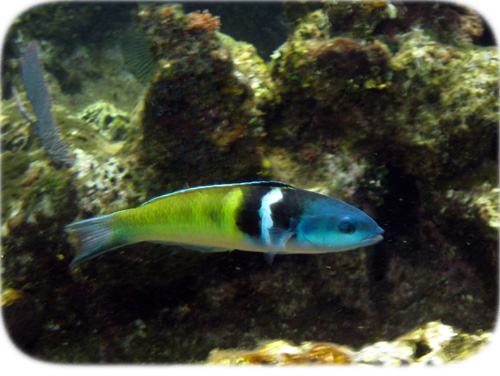 bluehead-wrasse-cropped