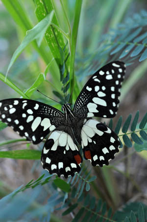 checkered-swallowtail