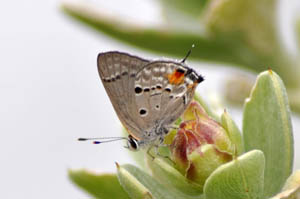 columella-scrub-hairstreak
