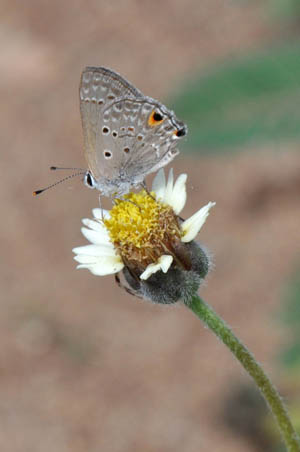 disjunct-scrub-hairstreak