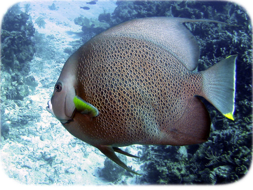 gray-angelfish-cropped