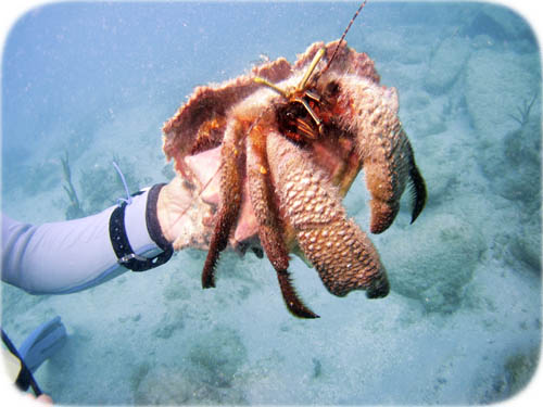 giant-hermit-crab1