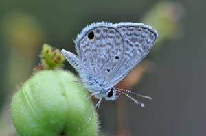 hanno-blue