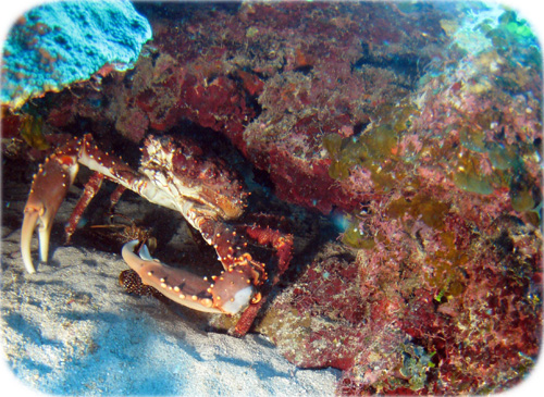 hiding-crab-cropped