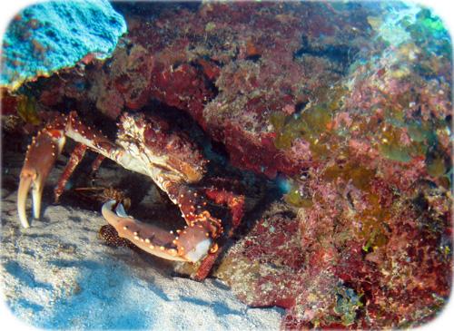 hiding-crab-cropped