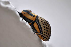 hieroglyphic-moth