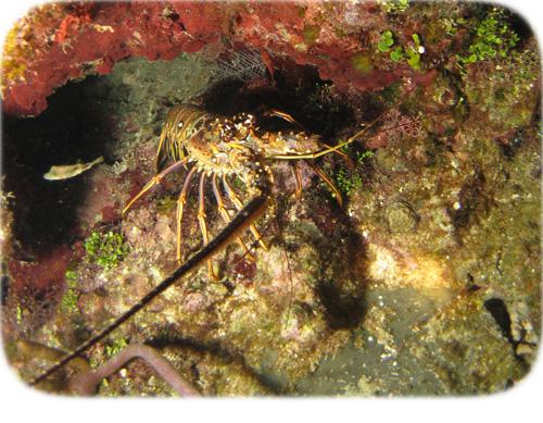 lobster-hiding