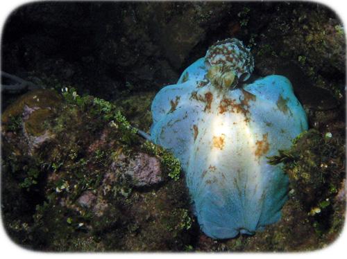octopus-hiding-blue-2