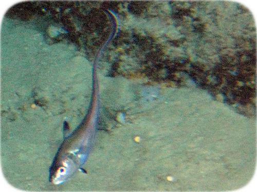 rattail-fish