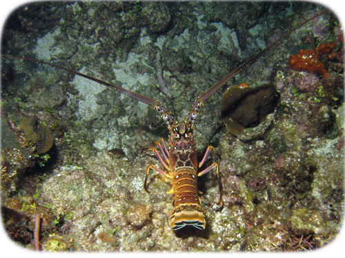 spiny-lobster-walking-cropped