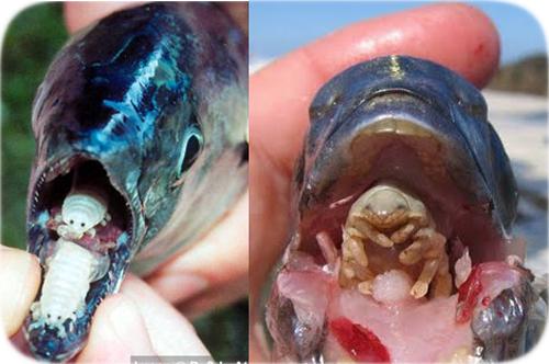 tongue-eating-isopod